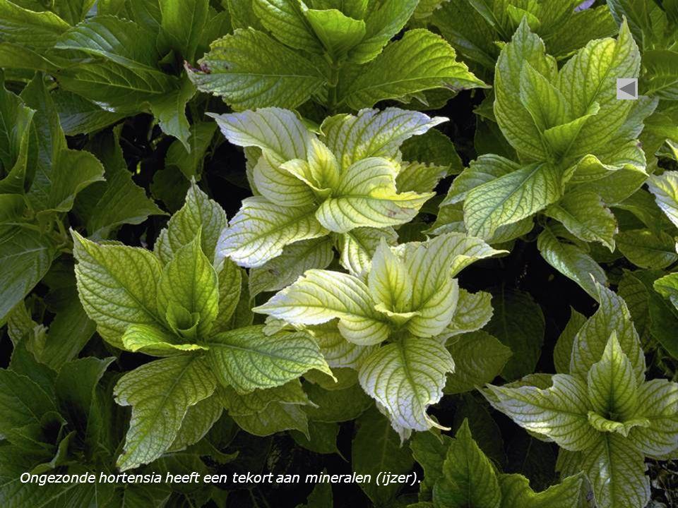 Ongezonde hortensia heeft een tekort aan mineralen (ijzer).