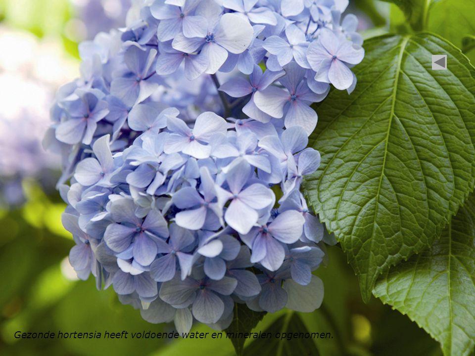Gezonde hortensia heeft voldoende water en mineralen opgenomen.