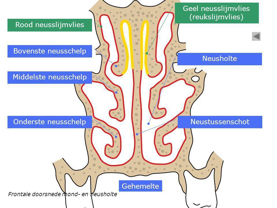 Bovenste neusschelp Middelste neusschelp Onderste neusschelp Neusholte Gehemelte Rood neusslijmvlies Geel neusslijmvlies (reukslijmvlies) Neustussensc