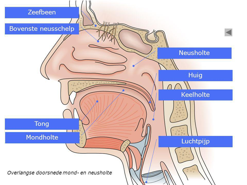 Overlangse doorsnede mond- en neusholte Zeefbeen Bovenste neusschelp Neusholte Mondholte Tong Huig Luchtpijp Keelholte