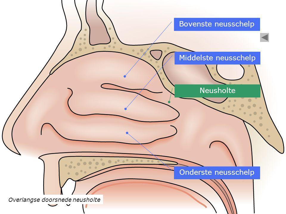 Overlangse doorsnede neusholte Bovenste neusschelp Middelste neusschelp Onderste neusschelp Neusholte