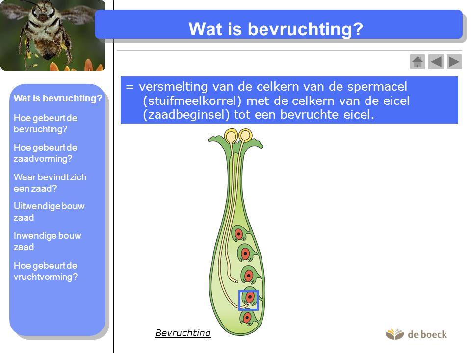 Wat is bevruchting? = versmelting van de celkern van de spermacel (stuifmeelkorrel) met de celkern van de eicel (zaadbeginsel) tot een bevruchte eicel