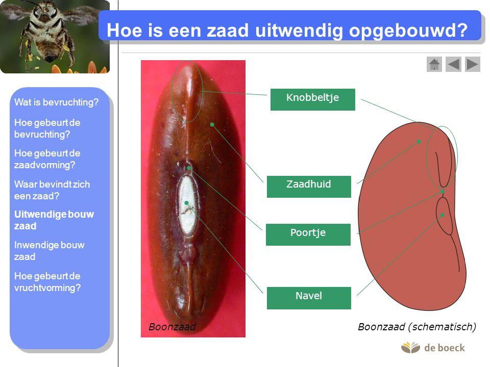 Hoe is een zaad uitwendig opgebouwd? Boonzaad Boonzaad (schematisch) Zaadhuid Navel Poortje Knobbeltje Wat is bevruchting? Hoe gebeurt de bevruchting?
