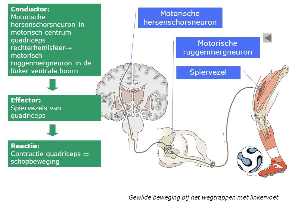 Gewilde beweging bij het wegtrappen met linkervoet Conductor: Motorische hersenschorsneuron in motorisch centrum quadriceps rechterhemisfeer motorisc