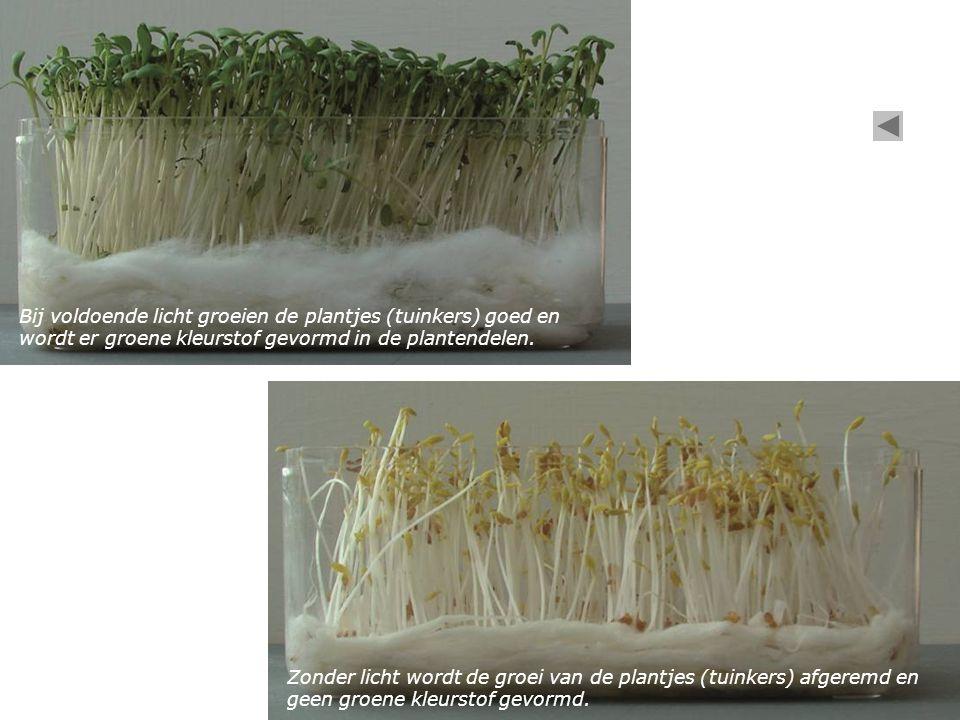 Zonder licht wordt de groei van de plantjes (tuinkers) afgeremd en geen groene kleurstof gevormd. Bij voldoende licht groeien de plantjes (tuinkers) g