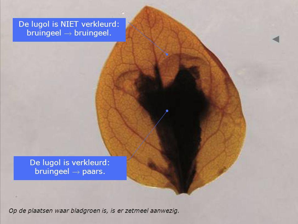 Op de plaatsen waar bladgroen is, is er zetmeel aanwezig. De lugol is verkleurd: bruingeel  paars. De lugol is NIET verkleurd: bruingeel  bruingeel.