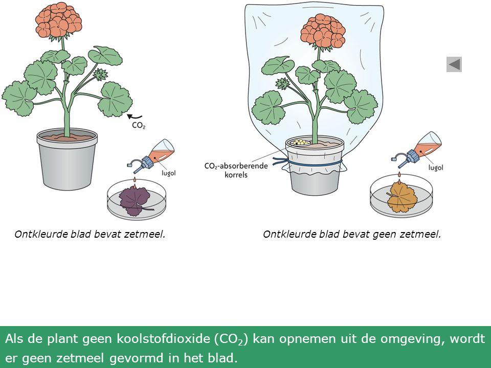 Ontkleurde blad bevat zetmeel.Ontkleurde blad bevat geen zetmeel. Als de plant geen koolstofdioxide (CO 2 ) kan opnemen uit de omgeving, wordt er geen