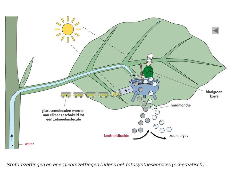 Stofomzettingen en energieomzettingen tijdens het fotosyntheseproces (schematisch)