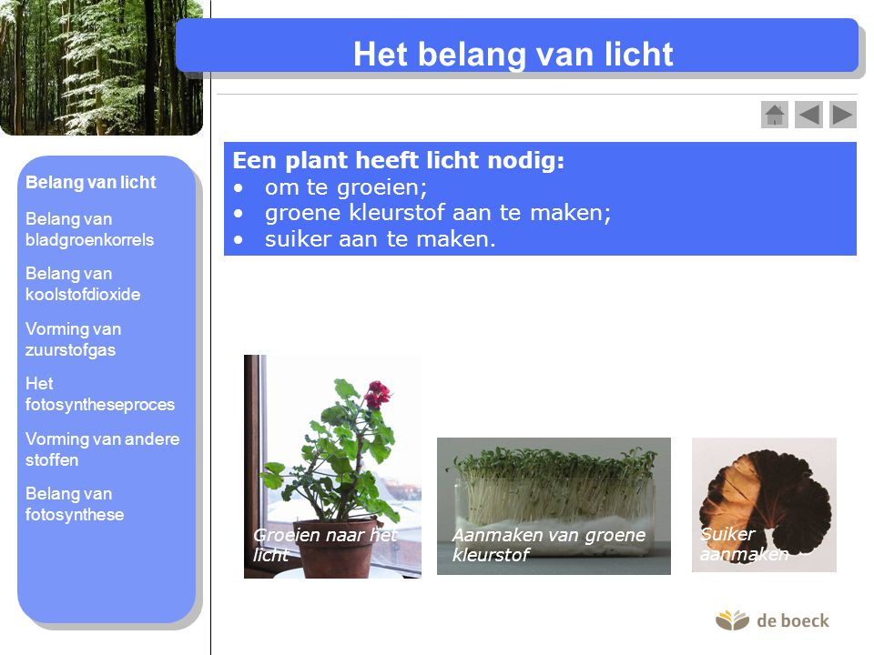 Het belang van licht Een plant heeft licht nodig: om te groeien; groene kleurstof aan te maken; suiker aan te maken. Groeien naar het licht Aanmaken v