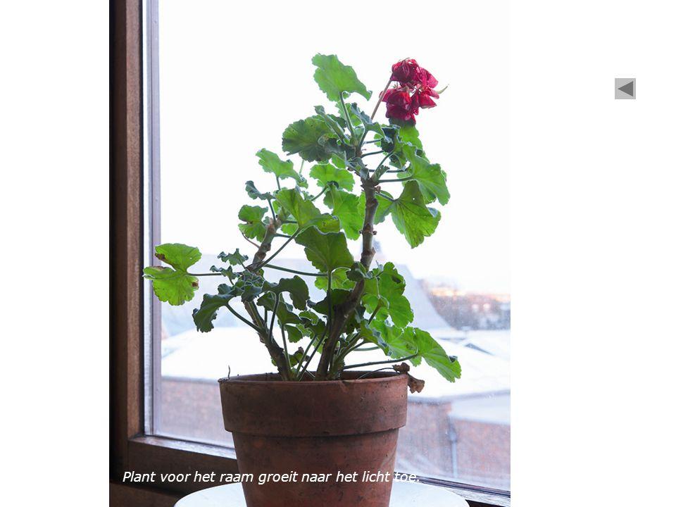 Plant voor het raam groeit naar het licht toe.
