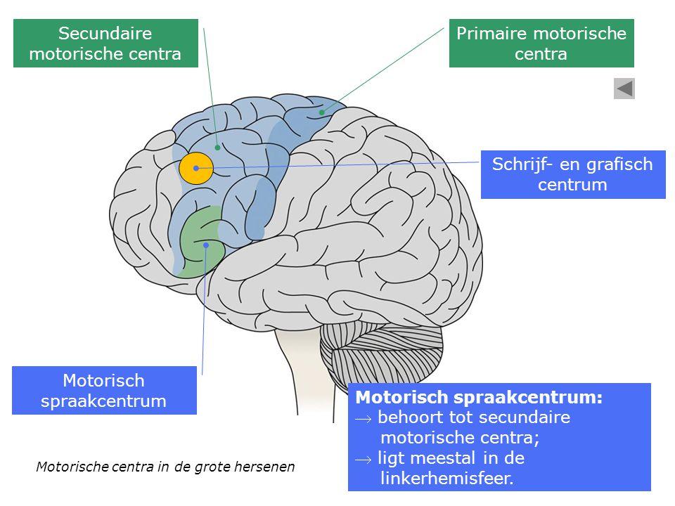 Motorische centra in de grote hersenen Primaire motorische centra Secundaire motorische centra Motorisch spraakcentrum Motorisch spraakcentrum:  beho