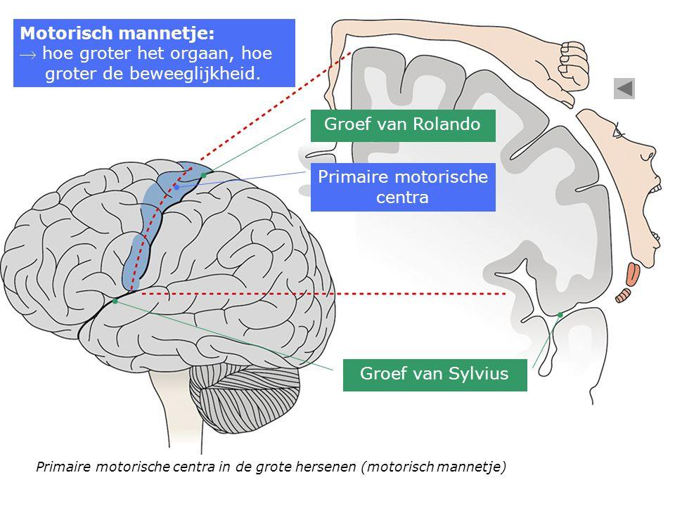 Primaire motorische centra Groef van Rolando Groef van Sylvius Primaire motorische centra in de grote hersenen (motorisch mannetje) Motorisch mannetje