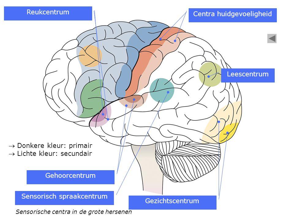 Centra huidgevoeligheid Sensorisch spraakcentrum Gehoorcentrum Reukcentrum Gezichtscentrum Leescentrum Sensorische centra in de grote hersenen  Donke