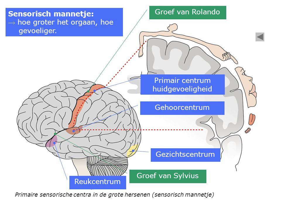 Primaire sensorische centra in de grote hersenen (sensorisch mannetje) Groef van Sylvius Groef van Rolando Gehoorcentrum Reukcentrum Primair centrum h