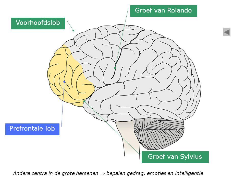Prefrontale lob Voorhoofdslob Groef van Rolando Groef van Sylvius Andere centra in de grote hersenen  bepalen gedrag, emoties en intelligentie