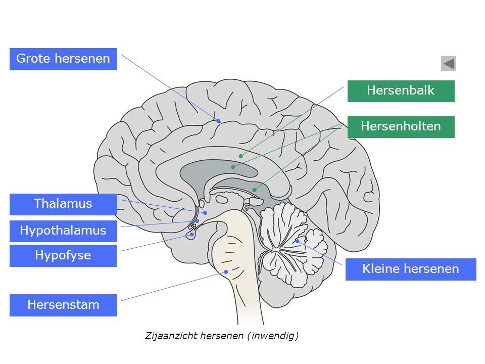 Hersenstam Hypofyse Hypothalamus Thalamus Zijaanzicht hersenen (inwendig) Kleine hersenen Hersenbalk Hersenholten Grote hersenen