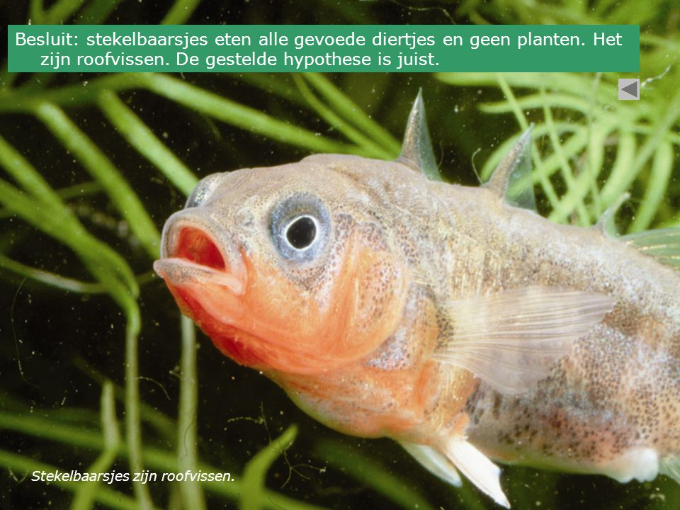 Stekelbaarsjes zijn roofvissen. Besluit: stekelbaarsjes eten alle gevoede diertjes en geen planten. Het zijn roofvissen. De gestelde hypothese is juis