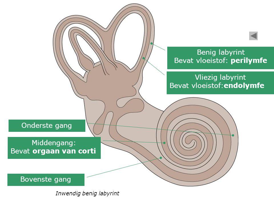 Inwendig benig labyrint Bovenste gang Middengang: Bevat orgaan van corti Onderste gang Vliezig labyrint Bevat vloeistof:endolymfe Benig labyrint Bevat vloeistof: perilymfe