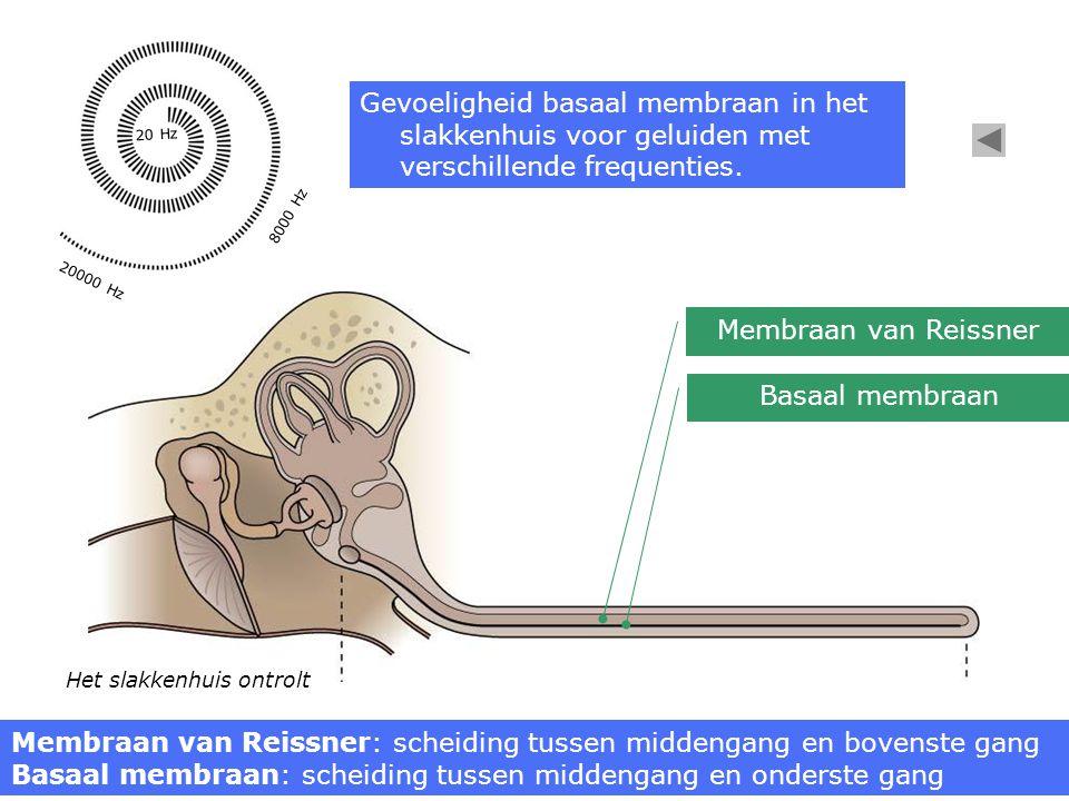 Het slakkenhuis ontrolt Membraan van Reissner Basaal membraan Membraan van Reissner: scheiding tussen middengang en bovenste gang Basaal membraan: scheiding tussen middengang en onderste gang 20000 Hz 8000 Hz 20 Hz Gevoeligheid basaal membraan in het slakkenhuis voor geluiden met verschillende frequenties.