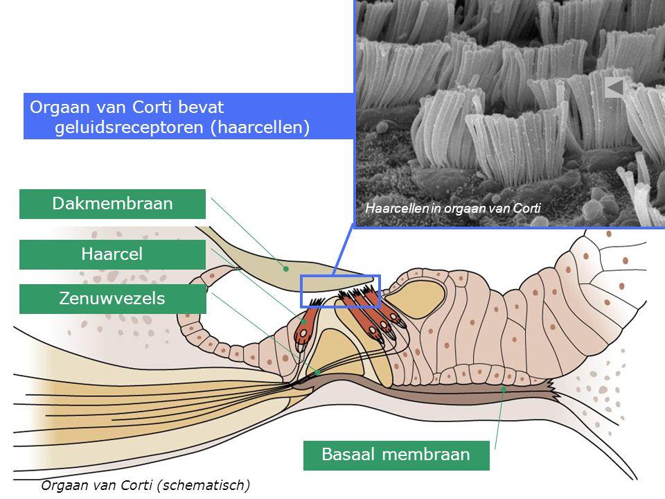 Orgaan van Corti (schematisch) Haarcellen in orgaan van Corti Orgaan van Corti bevat geluidsreceptoren (haarcellen) Dakmembraan Basaal membraan Haarcel Zenuwvezels