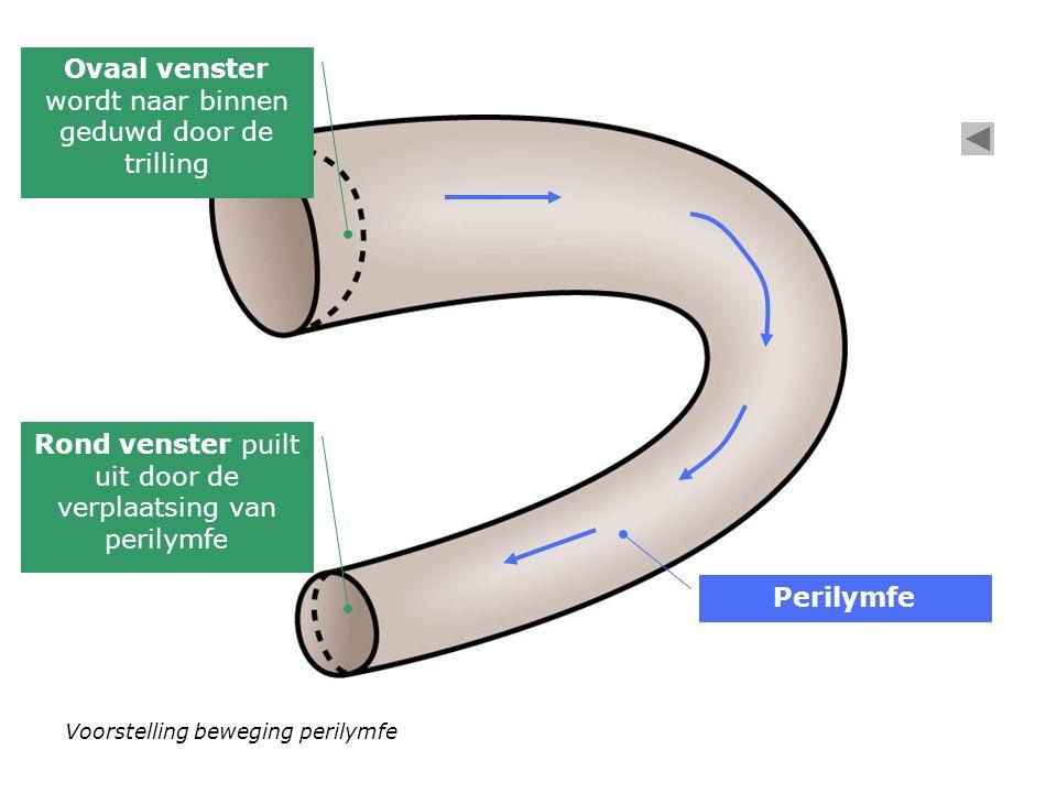 Voorstelling beweging perilymfe Ovaal venster wordt naar binnen geduwd door de trilling Rond venster puilt uit door de verplaatsing van perilymfe Perilymfe