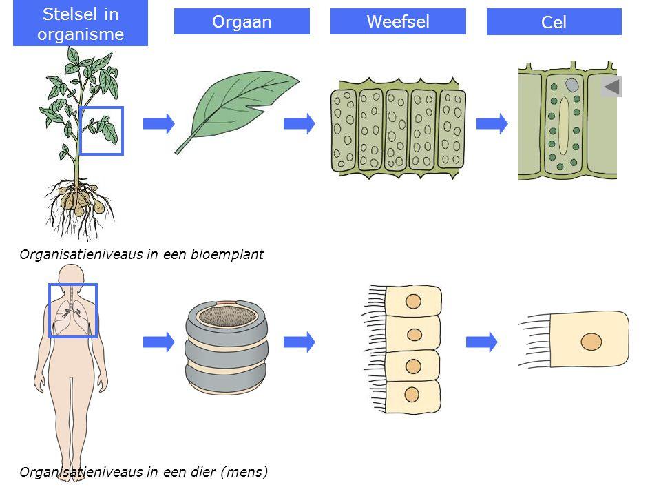 Organisatieniveaus in een bloemplant Organisatieniveaus in een dier (mens) Stelsel in organisme OrgaanWeefsel Cel