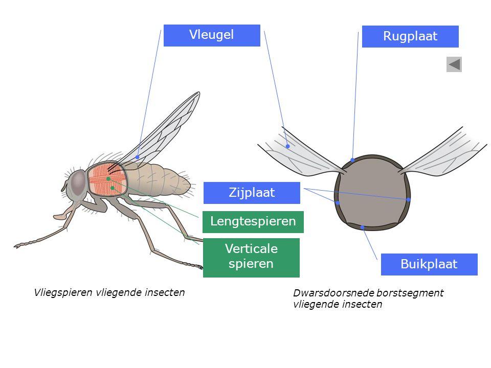 Dwarsdoorsnede borstsegment vliegende insecten Vliegspieren vliegende insecten Vleugel Buikplaat Zijplaat Rugplaat Verticale spieren Lengtespieren