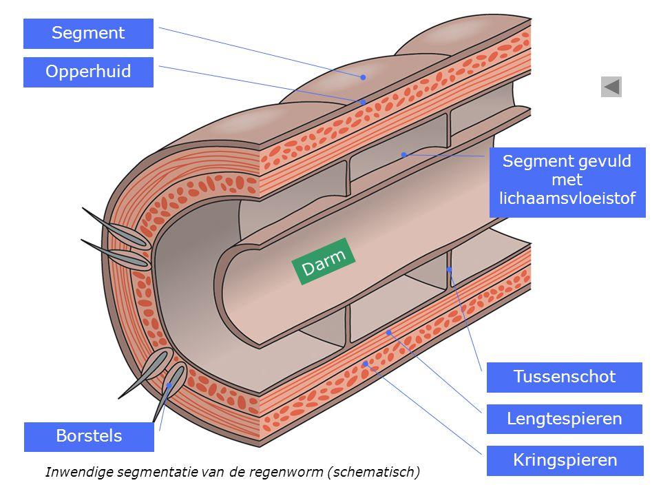 Inwendige segmentatie van de regenworm (schematisch) Segment Borstels Opperhuid Kringspieren Lengtespieren Tussenschot Segment gevuld met lichaamsvloe