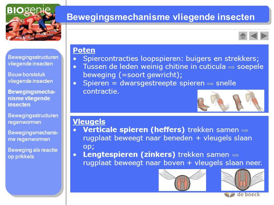 Bewegingsmechanisme vliegende insecten Poten Spiercontracties loopspieren: buigers en strekkers; Tussen de leden weinig chitine in cuticula  soepele