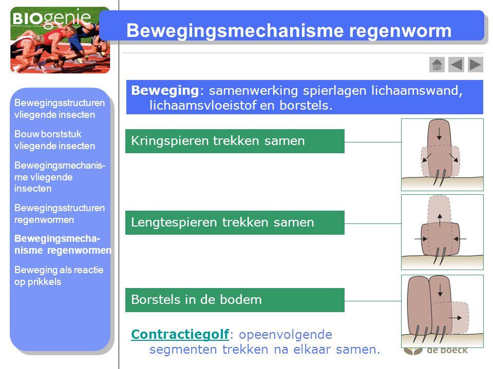 Bewegingsmechanisme regenworm Beweging: samenwerking spierlagen lichaamswand, lichaamsvloeistof en borstels. Kringspieren trekken samen Lengtespieren