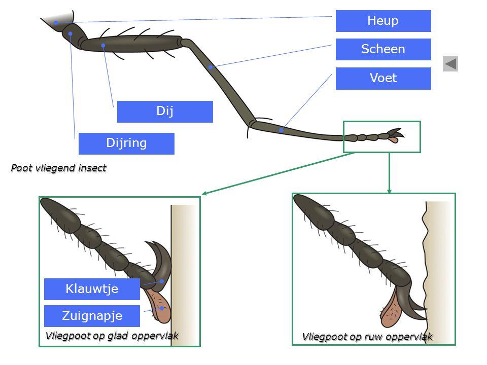 Nerven (aders) gevuld met lucht Vleugels vliegend insect vastgehecht aan tweede en derde borststuksegment