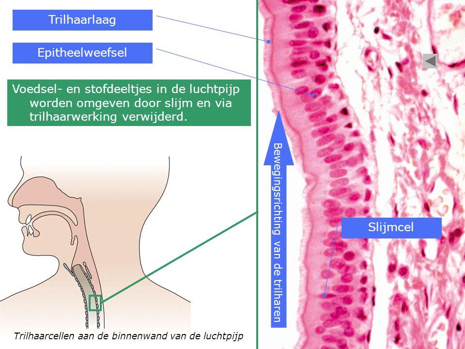Trilhaarcellen aan de binnenwand van de luchtpijp Bewegingsrichting van de trilharen Trilhaarlaag Epitheelweefsel Slijmcel Voedsel- en stofdeeltjes in