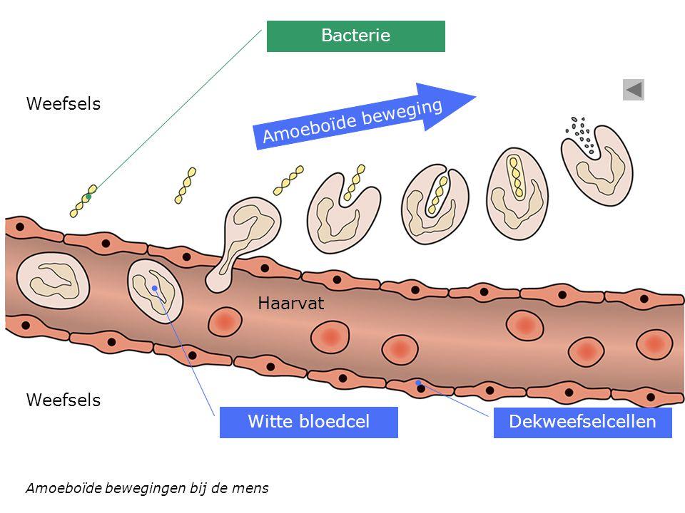 Dekweefselcellen Bacterie Amoeboïde beweging Witte bloedcel Haarvat Weefsels Amoeboïde bewegingen bij de mens