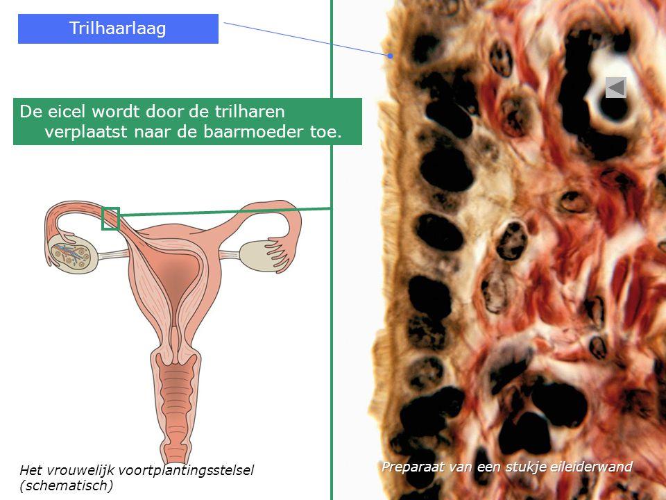 Het vrouwelijk voortplantingsstelsel (schematisch) Trilhaarlaag De eicel wordt door de trilharen verplaatst naar de baarmoeder toe. Preparaat van een