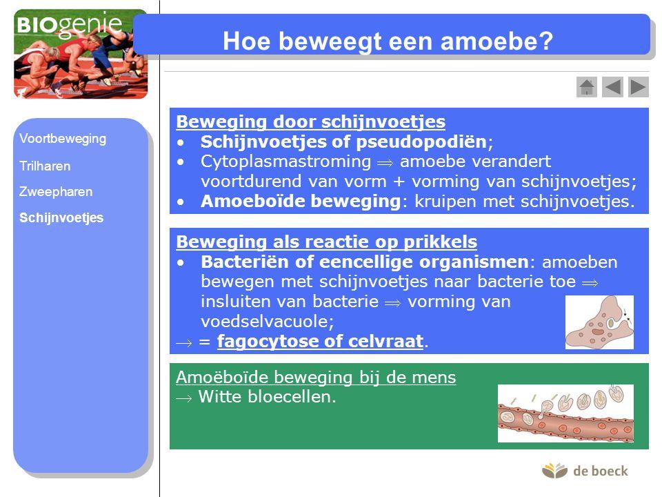 Hoe beweegt een amoebe? Beweging door schijnvoetjes Schijnvoetjes of pseudopodiën;Schijnvoetjes of pseudopodiën; Cytoplasmastroming  amoebe verandert