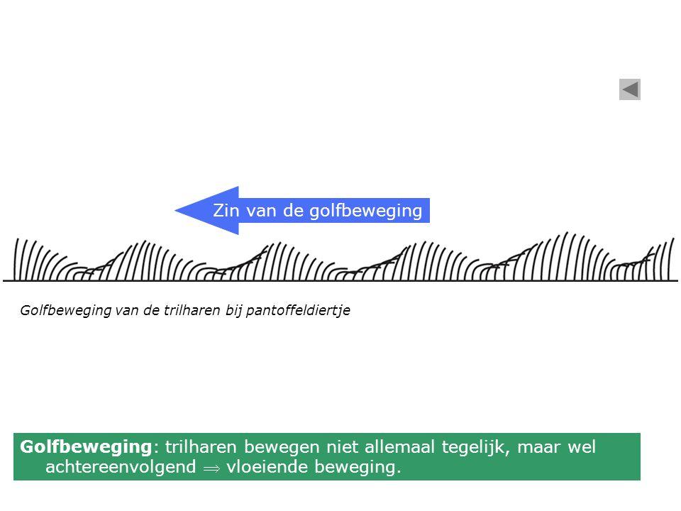 Golfbeweging van de trilharen bij pantoffeldiertje Zin van de golfbeweging Golfbeweging: trilharen bewegen niet allemaal tegelijk, maar wel achtereenv