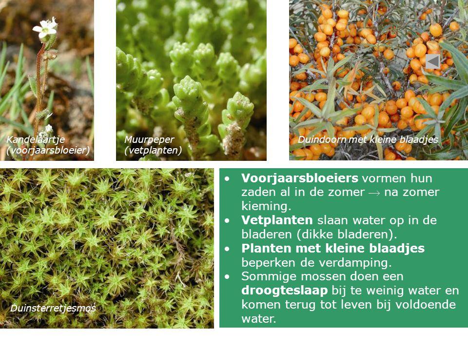 Kandelaartje (voorjaarsbloeier) Muurpeper (vetplanten) Duindoorn met kleine blaadjes Duinsterretjesmos Voorjaarsbloeiers vormen hun zaden al in de zom