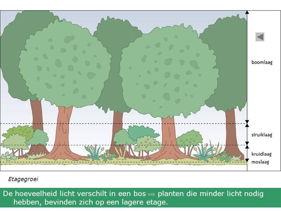 Etagegroei De hoeveelheid licht verschilt in een bos  planten die minder licht nodig hebben, bevinden zich op een lagere etage.