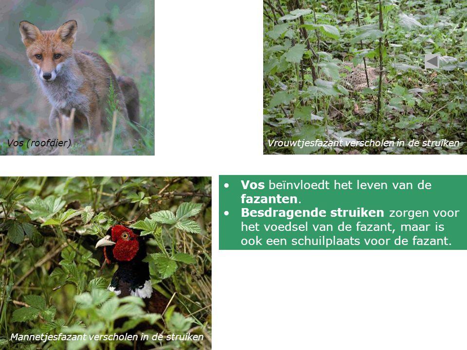 Vos (roofdier)Vrouwtjesfazant verscholen in de struiken Mannetjesfazant verscholen in de struiken Vos beïnvloedt het leven van de fazanten. Besdragend