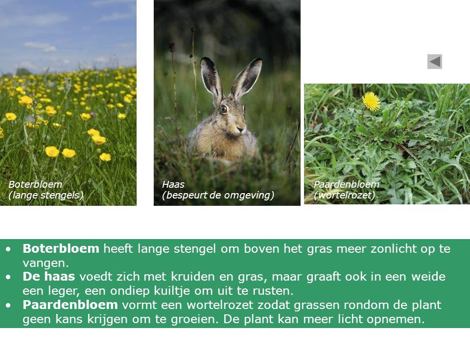 Boterbloem (lange stengels) Haas (bespeurt de omgeving) Paardenbloem (wortelrozet) Boterbloem heeft lange stengel om boven het gras meer zonlicht op t