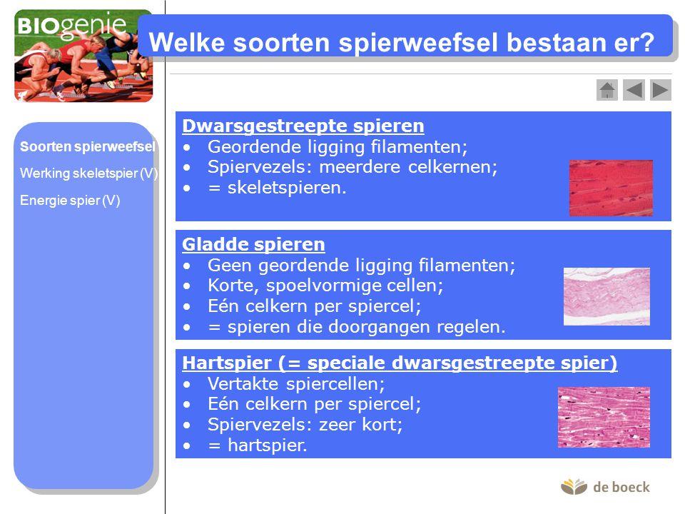 Welke soorten spierweefsel bestaan er? Dwarsgestreepte spieren Geordende ligging filamenten; Spiervezels: meerdere celkernen; = skeletspieren. Gladde