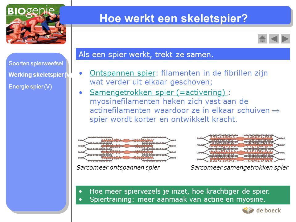 Hoe werkt een skeletspier? Als een spier werkt, trekt ze samen. Ontspannen spier: filamenten in de fibrillen zijn wat verder uit elkaar geschoven;Onts