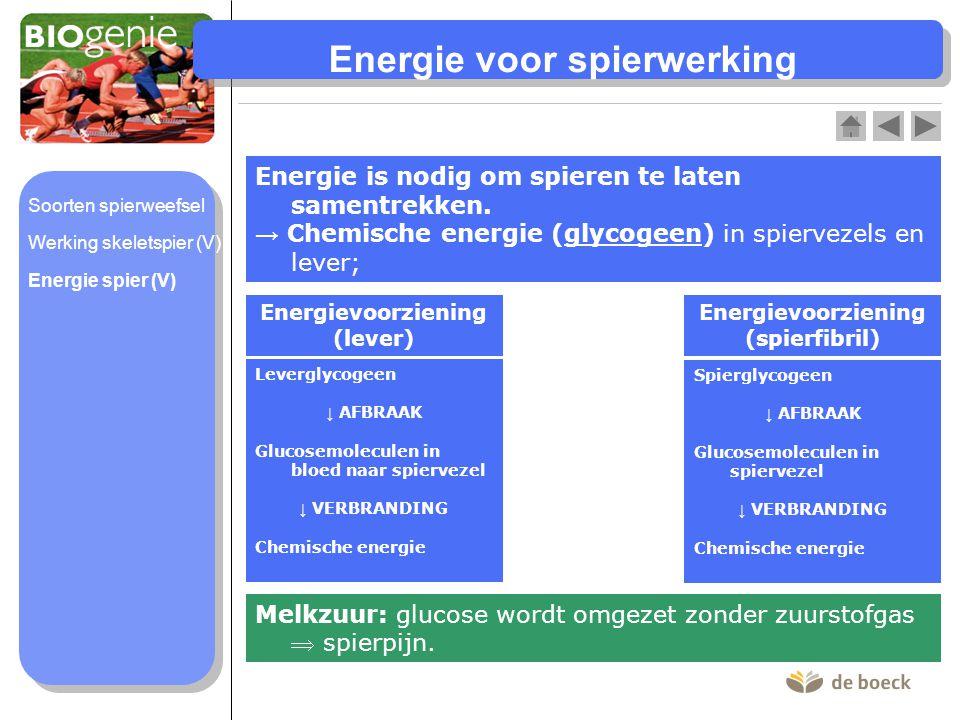 Energie voor spierwerking Energie is nodig om spieren te laten samentrekken. → Chemische energie (glycogeen) in spiervezels en lever; Energievoorzieni