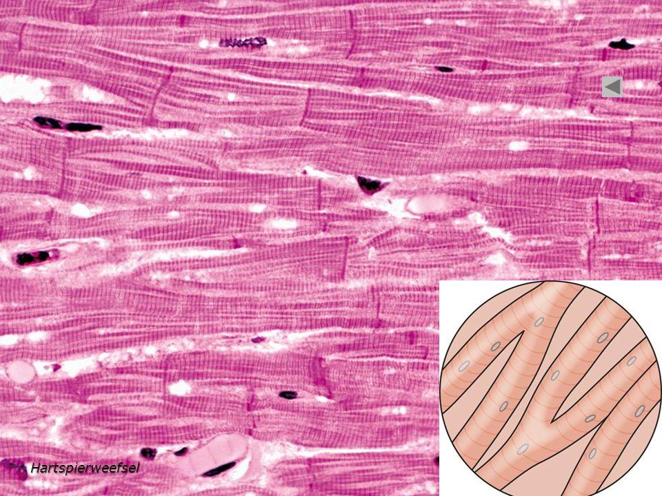 Hartspierweefsel