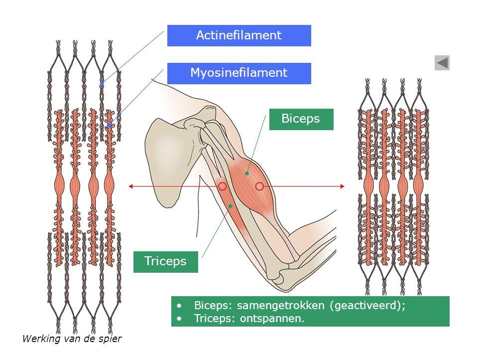 Werking van de spier Myosinefilament Actinefilament Biceps: samengetrokken (geactiveerd); Triceps: ontspannen. Biceps Triceps