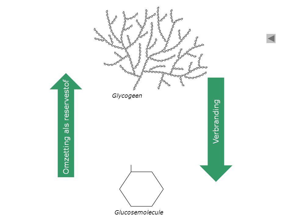 Glucosemolecule Glycogeen Verbranding Omzetting als reservestof