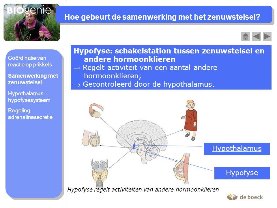 Hoe gebeurt de samenwerking met het zenuwstelsel? Hypofyse: schakelstation tussen zenuwstelsel en andere hormoonklieren  Regelt activiteit van een aa