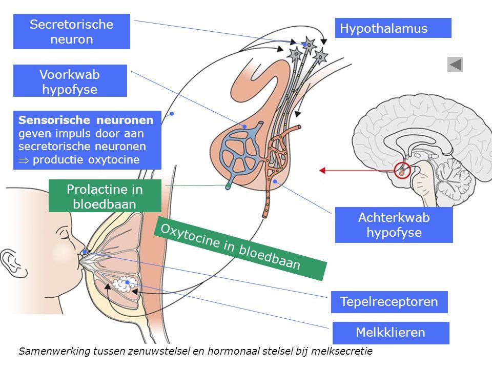 Samenwerking tussen zenuwstelsel en hormonaal stelsel bij melksecretie Hypothalamus Secretorische neuron Voorkwab hypofyse Achterkwab hypofyse Melkkli
