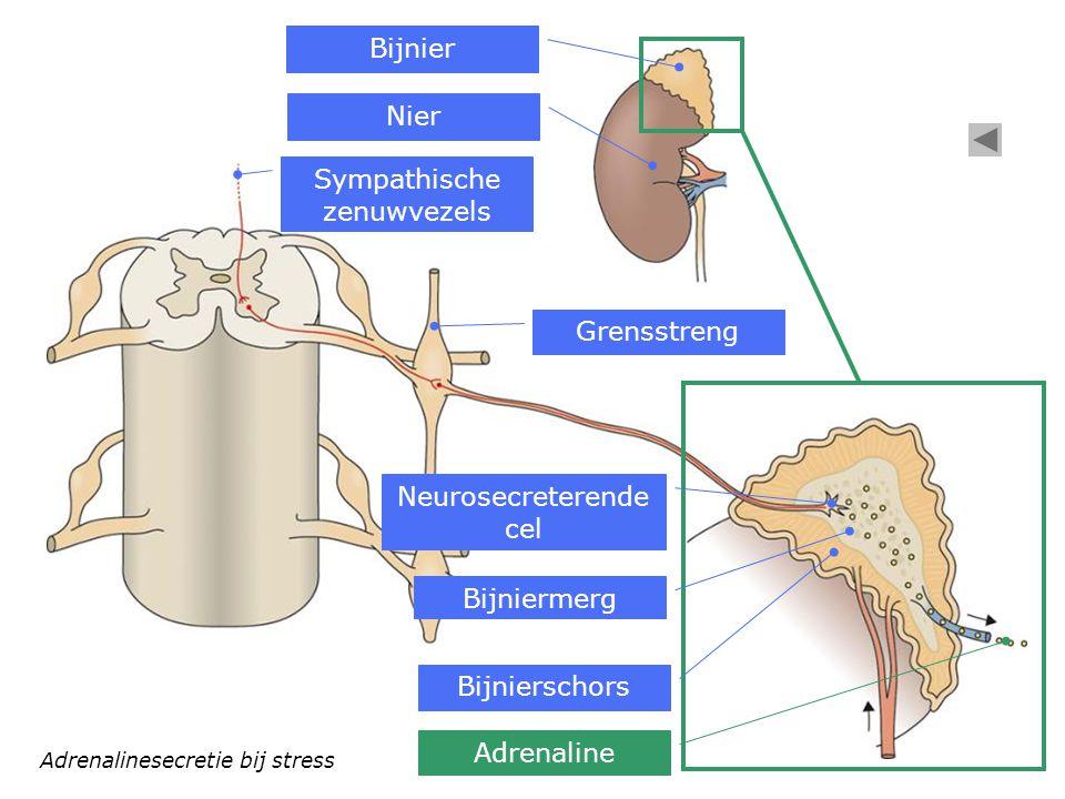 Adrenalinesecretie bij stress Bijnier Nier Sympathische zenuwvezels Bijnierschors Bijniermerg Grensstreng Adrenaline Neurosecreterende cel