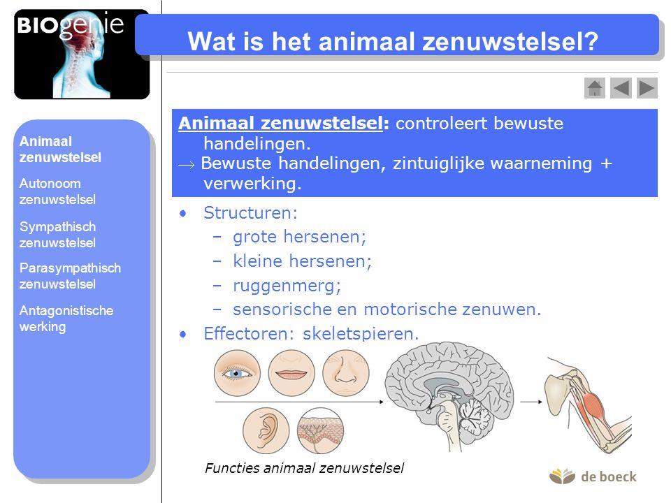 Wat is het animaal zenuwstelsel? Animaal zenuwstelsel: controleert bewuste handelingen.  Bewuste handelingen, zintuiglijke waarneming + verwerking. S